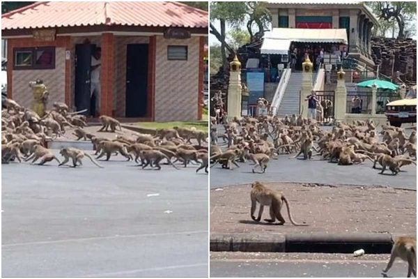 Hundreds of hungry monkeys affected by Coronavirus fight over food with rival gangs (Video)
